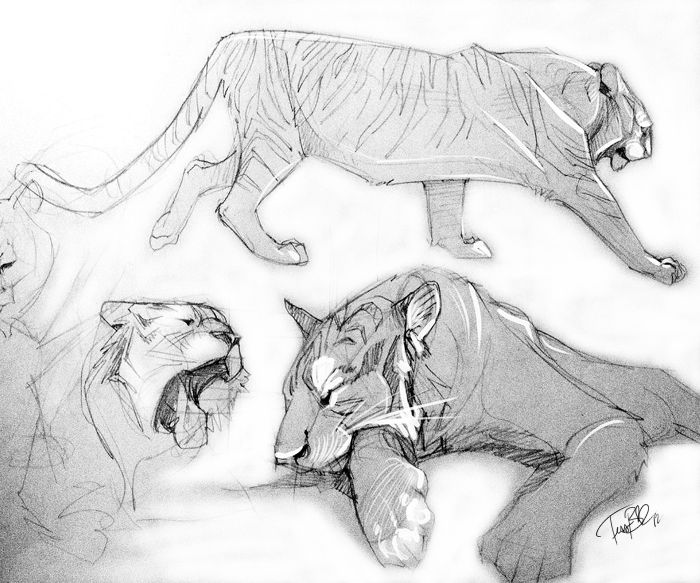 pencil doodles tigers practice sketches