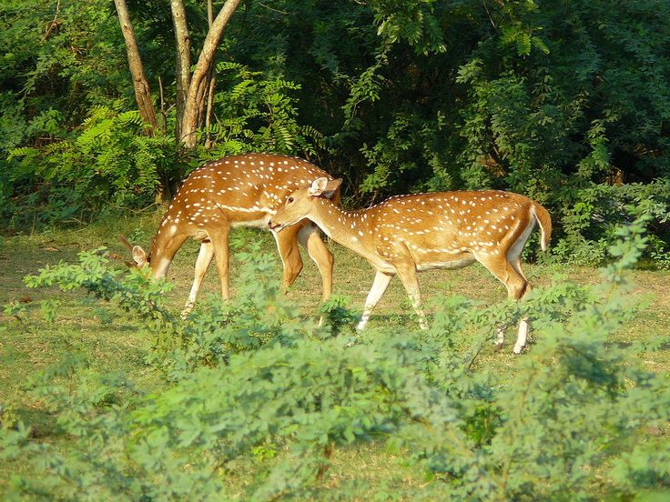 Axis deer | The IIT Madras Campus has a rich population of several deer species, such as the chital and the blackbuck |  © Masatran/Wiki Commons