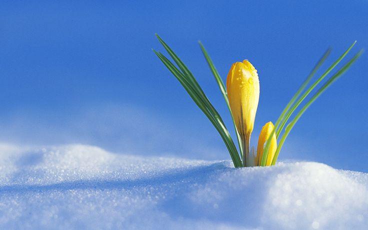 первый крокус, из под снега, Скоро весна