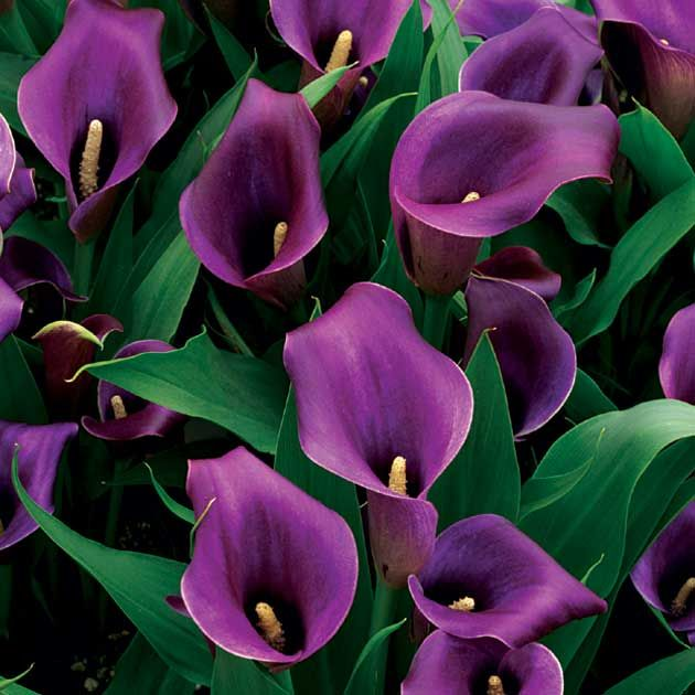 Image Gallery purple lilies