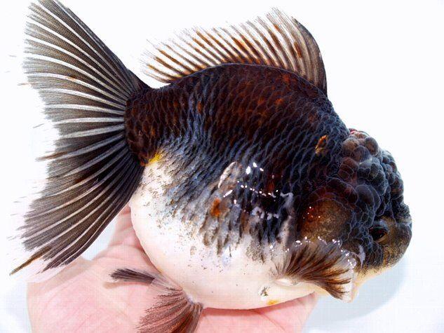 Oranda Gold Fish 27
