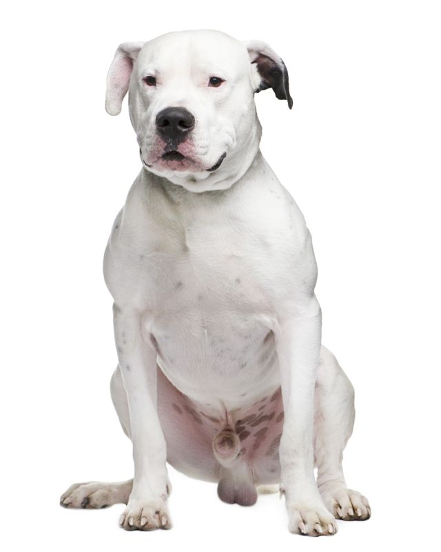 Many Dogo Argentino Dogs Are Born Deaf Due To The White Coat Desired Responsible Breeders Are Working To Lessen Elimina Dogo Argentino Dog Dogo Argentino Dogs