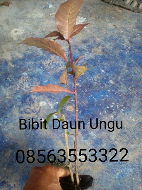 Jual bibit daun ungu, ekstrak daun ungu, serbul daun ungu hp.08563553322