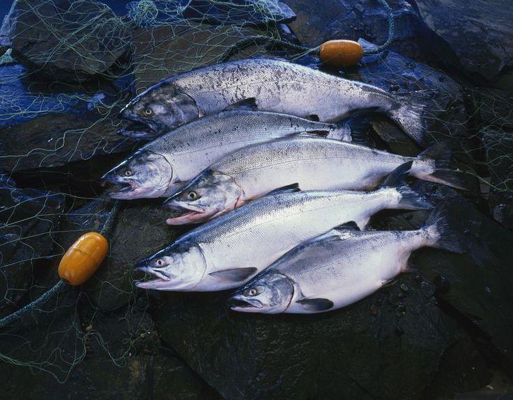 Different Salmon Species