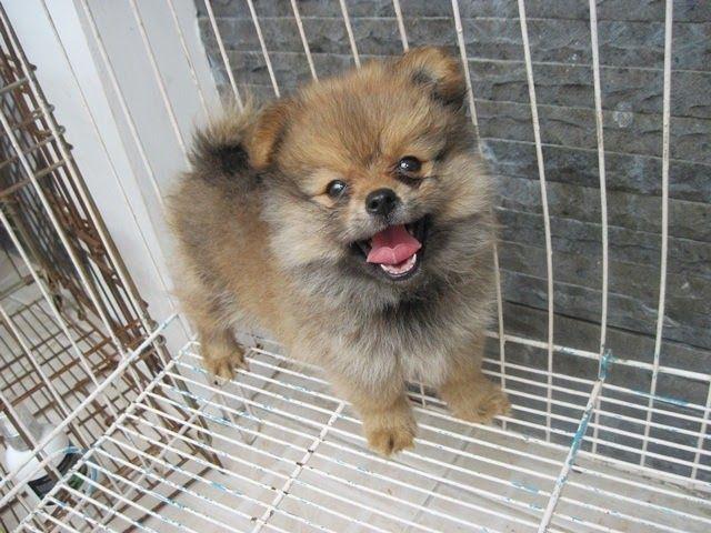 Paling Keren 15 Gambar Anjing Mini Pom Lucu Terjual Anakan Anjing Puppy Mini Pom Jantan Bln Lucu Gak Pake Maha Di 2020 Adopsi Anjing Gambar Anjing Anak Anjing Golden