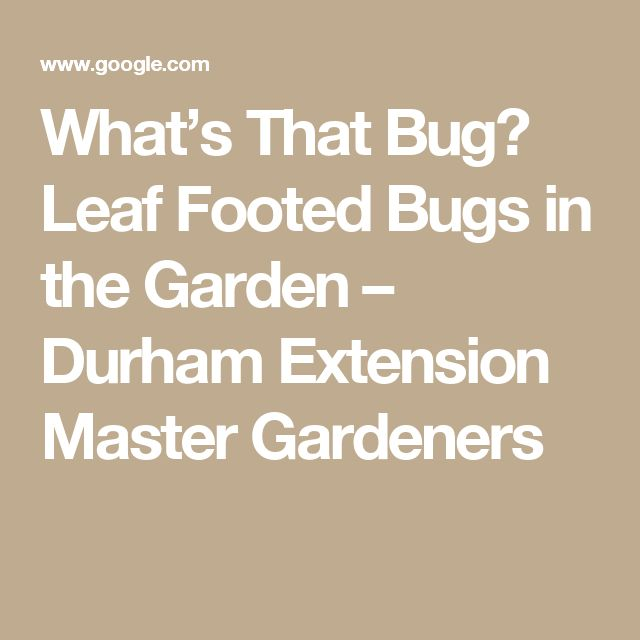 What's That Bug? Leaf Footed Bugs in the Garden – Durham Extension Master Gardeners