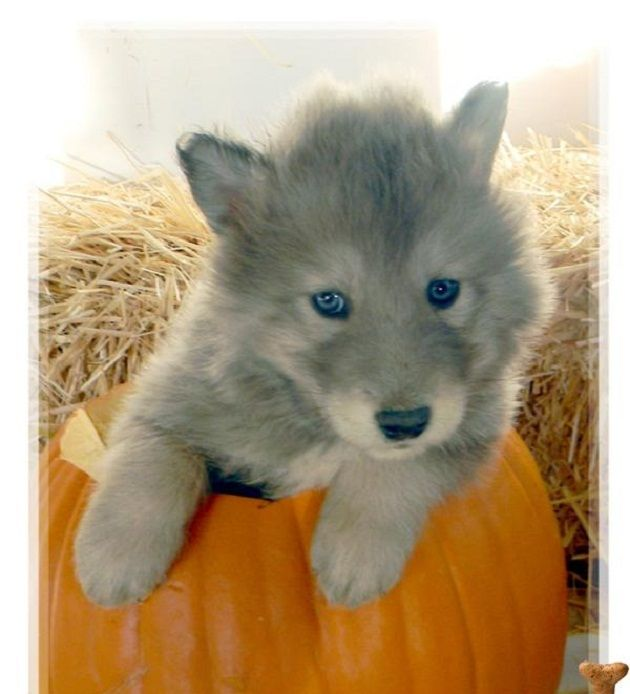 husky wolf puppies for sale | Zoe Fans Blog