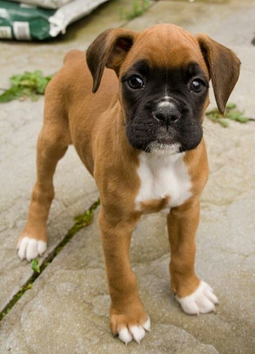Boxers have to be my favorite dogs they're so cute!
