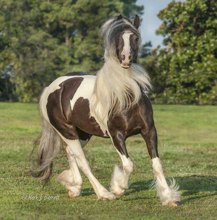 Proud gypser vanner horses