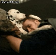 Dalmatian petting sleeping guy head on couch