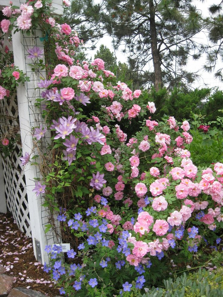 Rose Garden | Notice the lavendar clematis and the blue geraniums that are growing ...