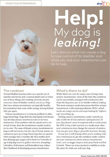 Client handout Help! My dog is leaking! Animal hospital