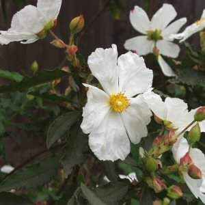 Cistus ladanifer 'Blanche' at San Marcos Growers