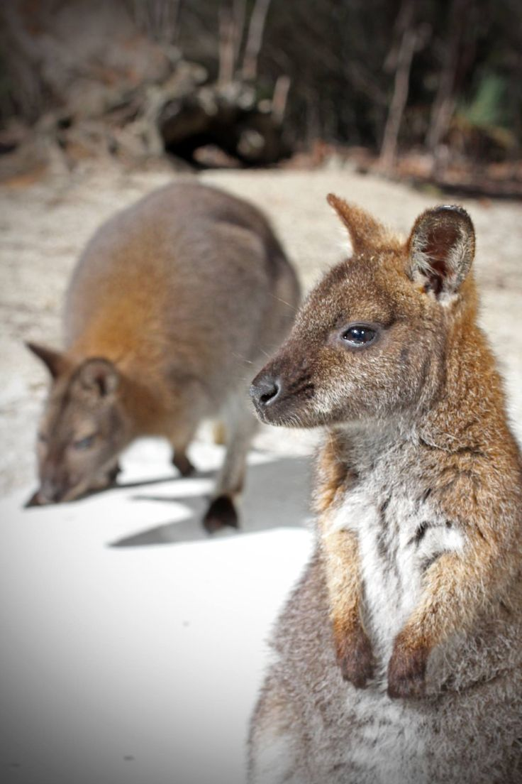 Bennetts wallabies on Flinders Island,  Tasmania