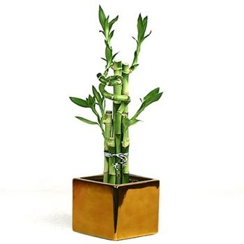 bamboo plant care instructions