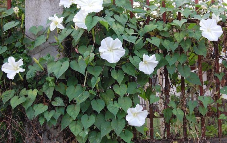 Colocar una enredadera de rapido crecimiento en el jardin. Flor de luna (Ipomoea)
