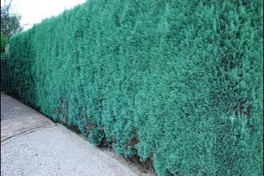 Cipresso di Lawson 'Columnaris' Il Phyllostachys nigra (Bambu' nigra) è un ottimo bambu' per siepi e barriere sempreverdi, con bellissimo fogliame verde scuro lucido e canne di color verde da giovani che divengono successivamente nere.
