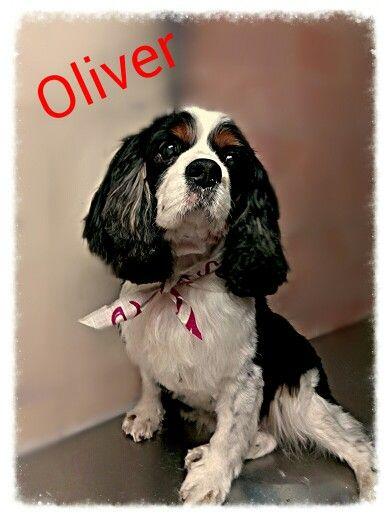 Cavalier K.C. Oliver al mumu`cici` bebè in Senago, Lombardia