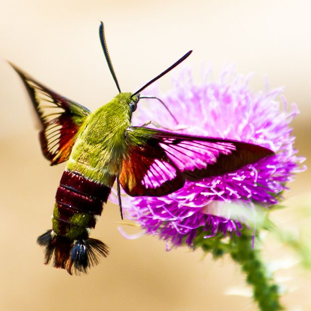 Hummingbird Moth by Mike     I love watching them while smelling fresh rosemary.
