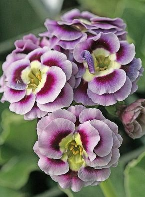 Primula auricula 'Ra Beautiful