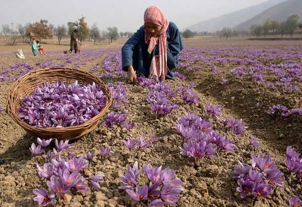 Saffron is the dried stigmas of the Saffron Crocus. It takes about 80,000 flowers to yield 5 pounds of Saffron.