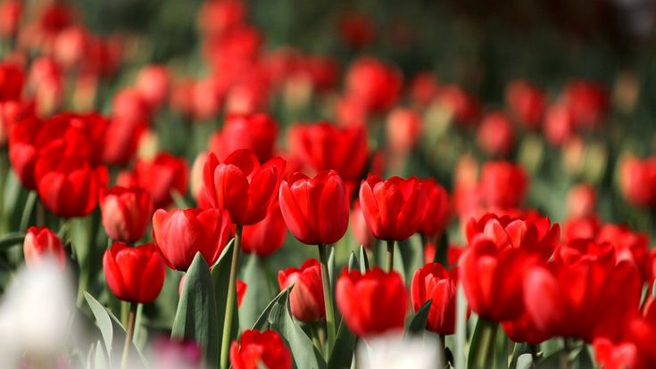https://flic.kr/p/e6dzBZ | tulip | tulip