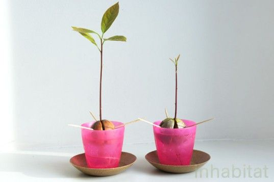 Growing an avocado from a seed--great idea for school