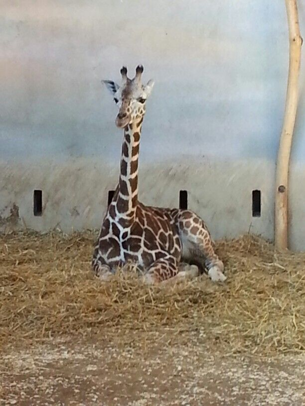 Baby Giraffe taken at Prague Zoo