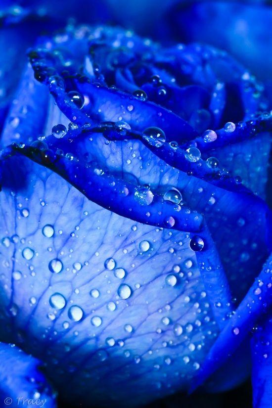 Blue Rose !