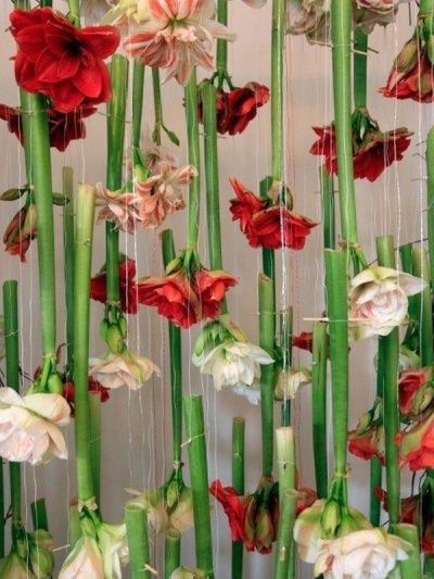 Amaryllis hanging from the ceiling on Funnyhowflowersdothat.co.uk: