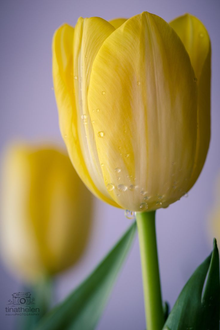 """""""my heart stopped until I noticed that on his pillow lay a folded piece of paper and a yellow tulip.   Always You by Kirsty Moseley"""