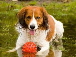 Chien Petit chien hollandais de chasse au gibier d'eau