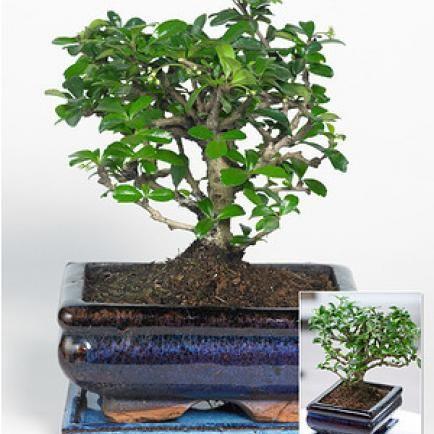 17 Best Ideas About Bonsai Pflanzen On Pinterest | Bonsai Indoor ... Basiswissen Bonsai Baum Arten Pflege