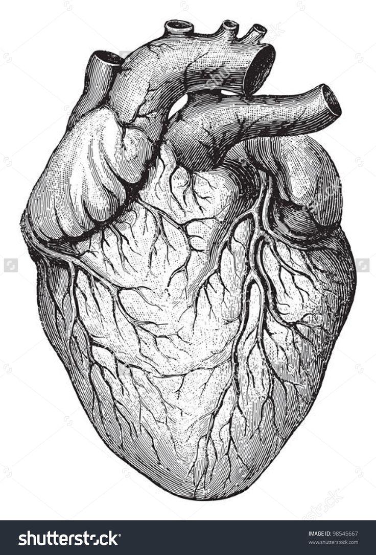 Human heart / vintage illustrations from Die Frau als Hausarztin 1911
