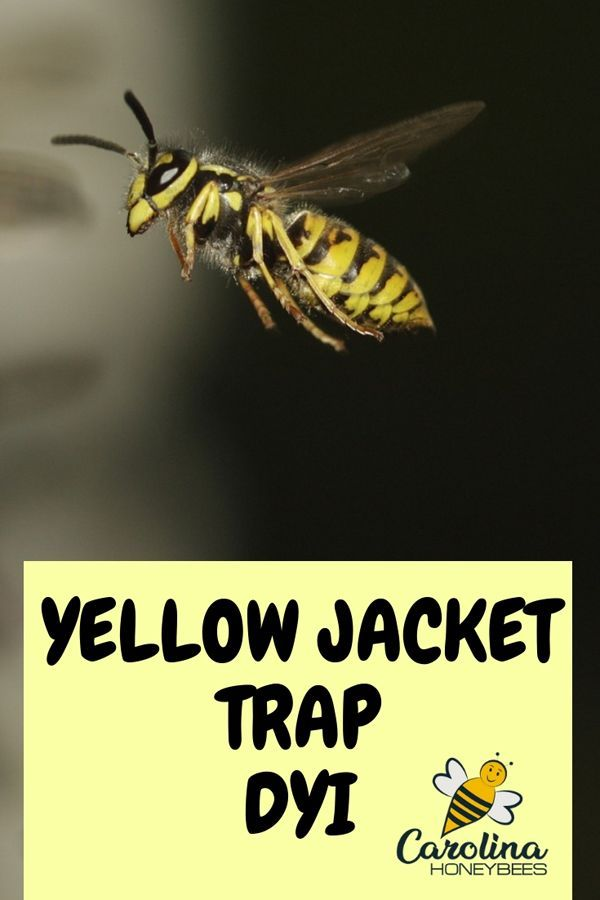 Yellow Jacket Trap Make Your Own Carolina Honeybees Yellow Jacket Trap Yellow Jacket Wasp Traps