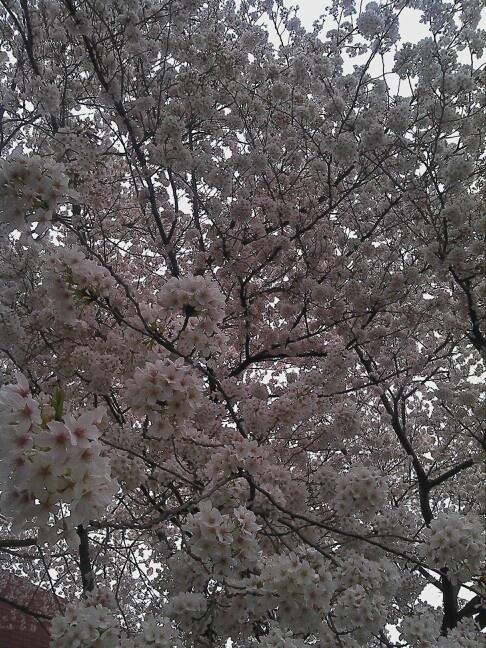 さくら咲く。