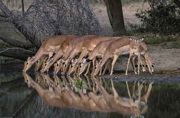 Impala in Kruger Park -South Africa .  I think Kruger Park is where we had a day trip last year when we were in S Africa.