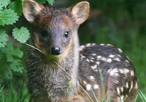Pudus are the world's smallest deer species.  Weighing only about 26 pounds and standing 15 inches at the shoulder as adults, Pudus live in South America's temperate rain forests.