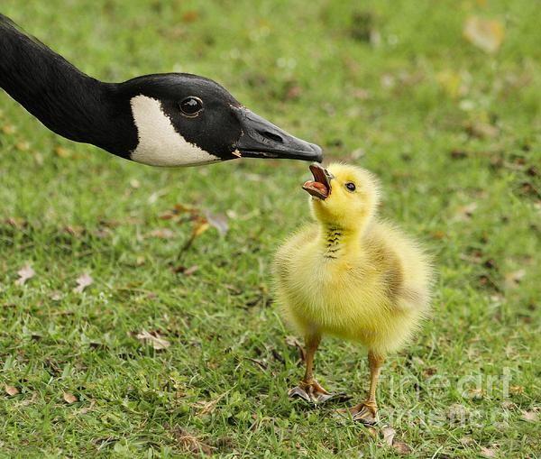 Canada Goose Baby Snow Bunting morado