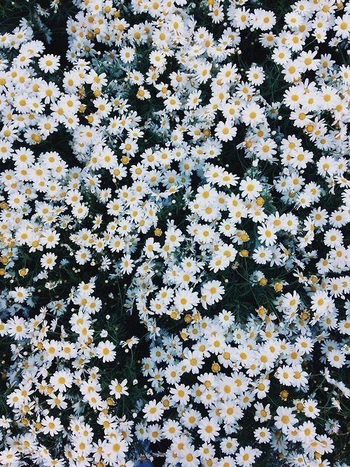Daisies Ich liebe Gänseblümchen! Schon immer …