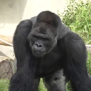 According to Rocket News, Shabani has been at the zoo since 2007, but only in the past few months has the gorilla gained popularity. | This Gorilla Is So Handsome Women Are Flocking To The Zoo To See Him