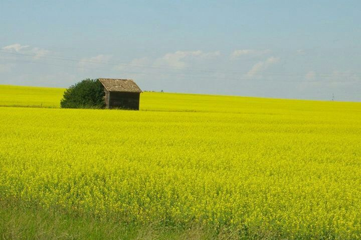 Canola Fields Quotes: 17 Best Images About North Dakota On Pinterest