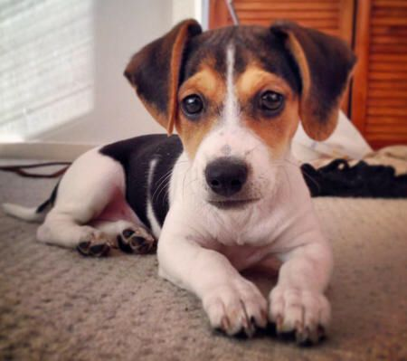 A Jackabee (half Jack Russell, half Beagle). So cute!