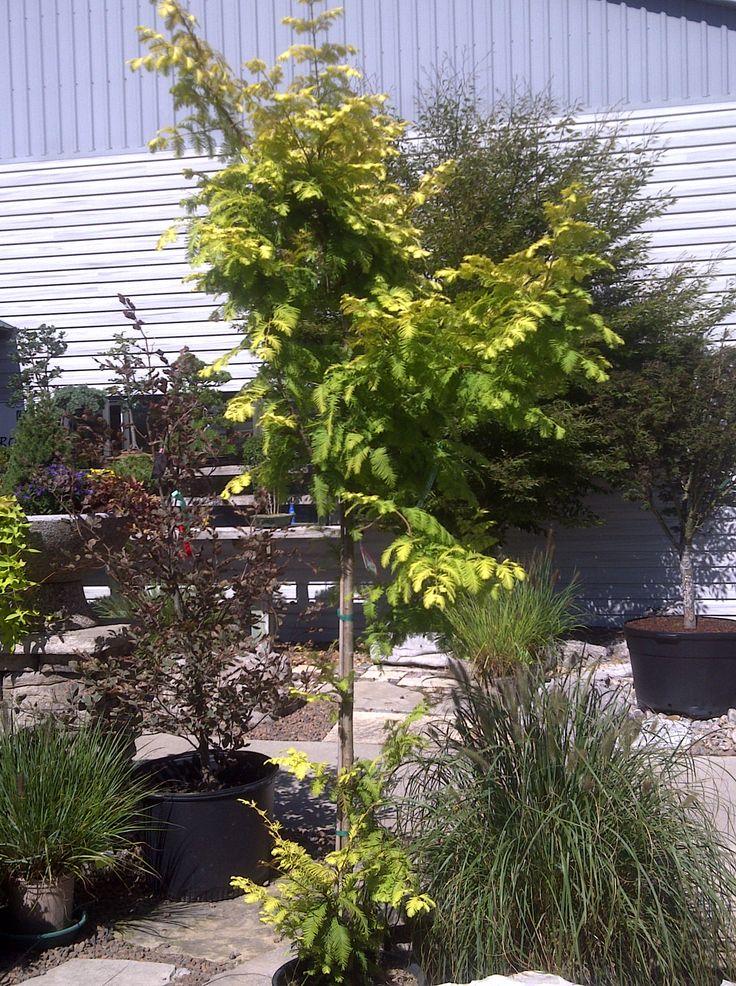 Landscaping With Redwood Trees : Best images about around the garden centre on gardens