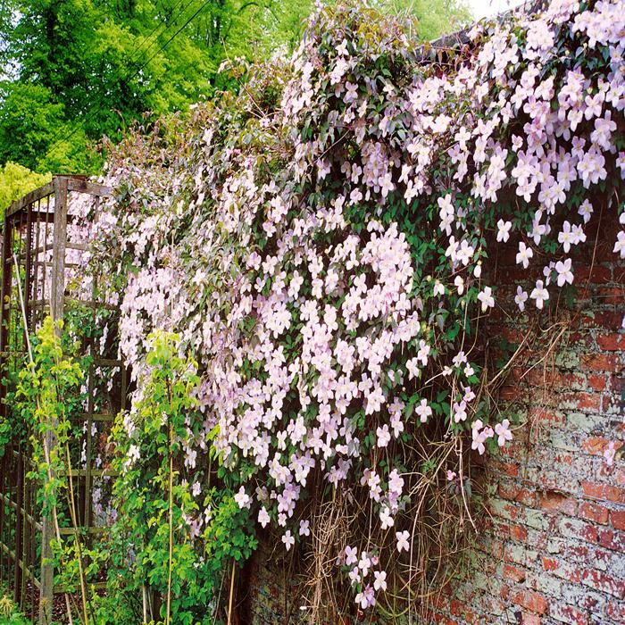 Clematis var. Rubens - 1 plant Buy online order yours now