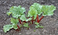 How to grow Rhubarb, a companion plant for apple trees,I never knew that.