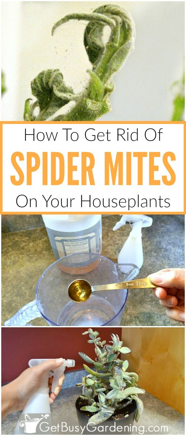Spider mites look like tiny white spiders on houseplants, they create spider webs on plant leaves, and they are very destructive plant pests! Follow these organic spider mite treatment methods to kill them, and learn how to prevent spider mites from ever coming back!