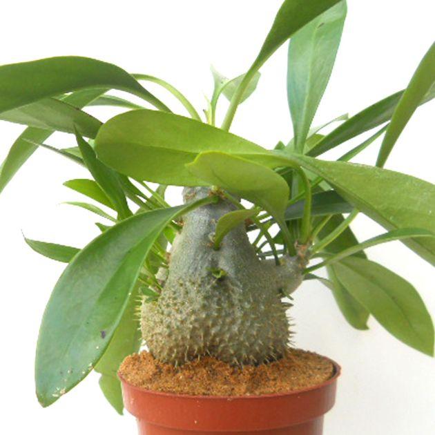 Myrmecodia Beccarii Epiphyte Plantes Grasses Plante