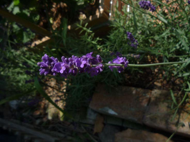 A levendula virágainak illata emlékeztethet nagymamád ruhásszekrényére, vagy valamelyik kedvenc kozmetikumodra. Kevés olyan sokoldalú gyógynövényünk van, mint a levendula. Tradicionális gyógynövényről van szó, amelyet manapság újra felfedeztek. Ismerd meg közelebbről. http://kertlap.hu/keves-olyan-sokoldalu-gyogynovenyunk-van-mint-levendula/