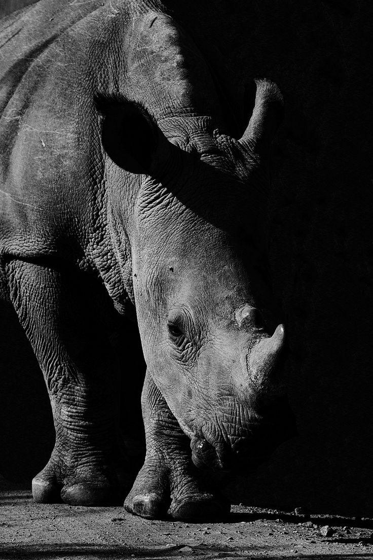 White Rhino Emerging From The Shadows